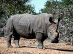 Rhinos are a shorter term of Rhinoceros
