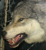 this wolf is showing aggression