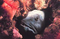 A sea wolfs diet destroys its teeth