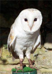 Staring Barn Owl