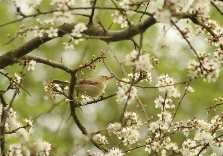 ChiffChaff Collecting Insects